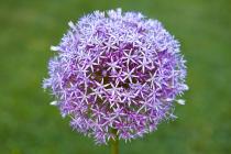 Flor de Allium